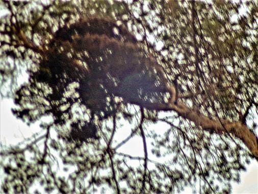 Weißbeerige Mistel(Viscum album subsp. austriacum(L.)) an Waldkiefer(Pinus sylvestris(L.))