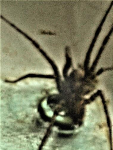 Hauswinkelspinne(Tegenaria domestica(Clerck 1757)) als