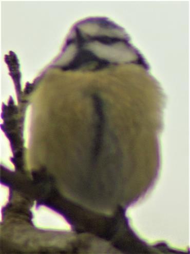 Blaumeise(Cyanistes caeruleus(L. 1758)) im Geäst einer Hauspflaume(Prunus domestica(L.))