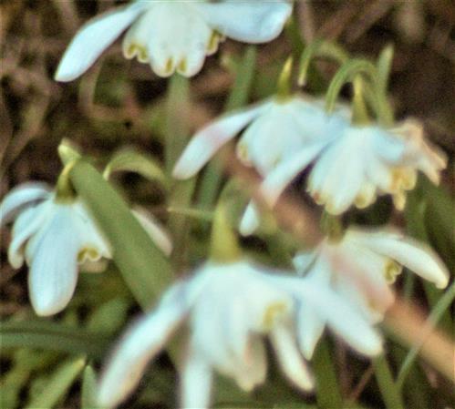 Schneeglöckchen(gefüllt)(Galanthus nivalis
