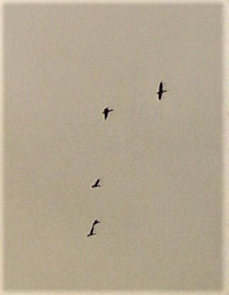 Stockenten(Anas platyrhynchos(L. 1758)) im Flug