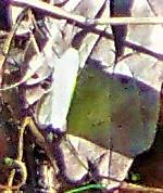 Zitronenfalter(Gonepteryx rhamni(L. 1758)) auf einem Waldweg gelandet