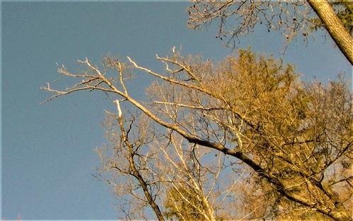 Absterbende oder bereits gestorbene Traubeneichen(Quercus petraea(Mattuschka)Liebl.))