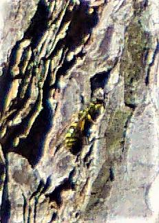 Faltenwespe(Ancistrocerus gazella(Panzer 1798))