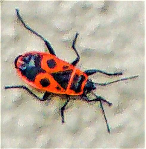 Gemeine Feuerwanze(Pyrrhocoris apterus(L. 1758))