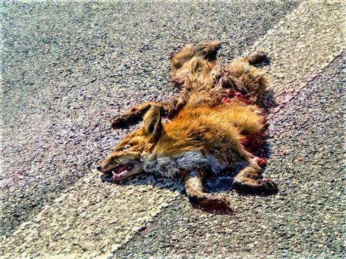 Rotfuchs(Vulpes vulpes(L. 1758)) als Verkehrsopfer 01