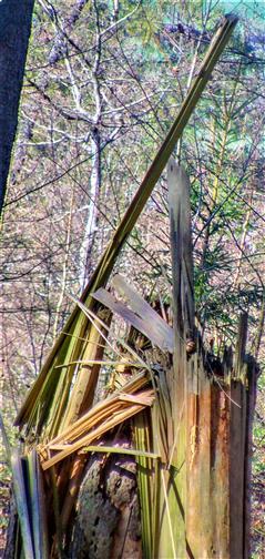 Windwurf einer Gemeinen Fichte(Picea abies(L.)H.Karst.)