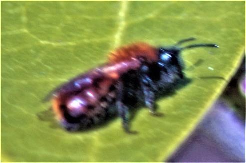 Rotpelzige Sandbiene(Andrena fulva(Müller 1766))(weiblich)