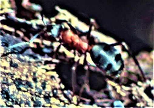 Arbeiterin der Roten Waldameise(Formica rufa(L. 1761)) unterwegs