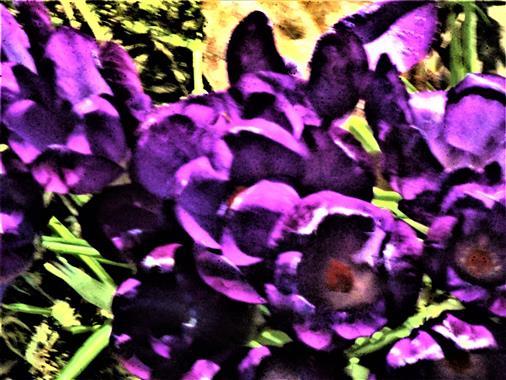 Frühlings-Krokus(Crocus vernus(Hill.))(Züchtung!)