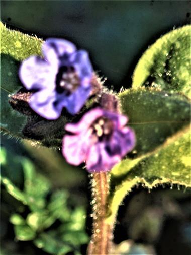 Blüten des Geflecktes Lungenkraut(Pulmonaria officinalis(L.))