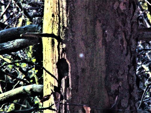 Spechthöhle in einer alten Gemeinen Fichte(Picea abies(L.) H.Karst.)