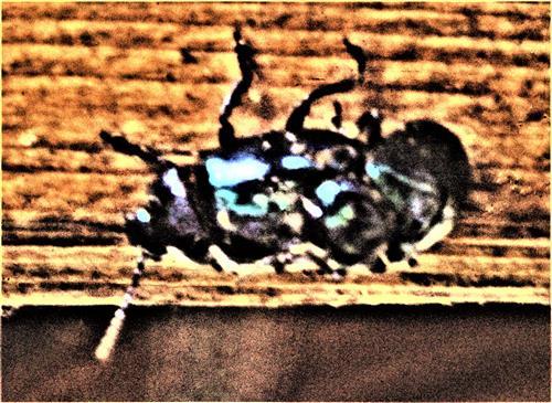 Kopulation des Himmelblauen Blattkäfers(Chrysolina coerulans(Scriba 1791)) an einem Holzbalken