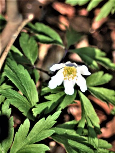Buschwindröschen(Anemona nemorosa(L.))