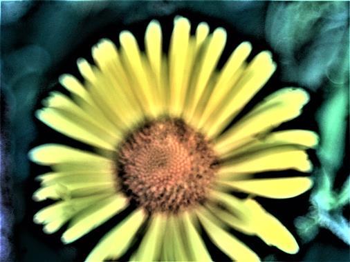 Blüte der Herzblättrigen Gämswurz(Doronicum columnae(Ten. 1811))