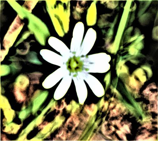 Blüte der Großen Sternmiere(Stellaria holostea(L. ))