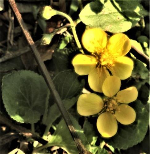 Gold-Fingerkraut(Potentilla aurea(L.))