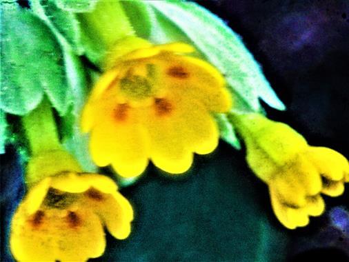 Blüten der Echten Schlüsselblume(Primula veris(L.))