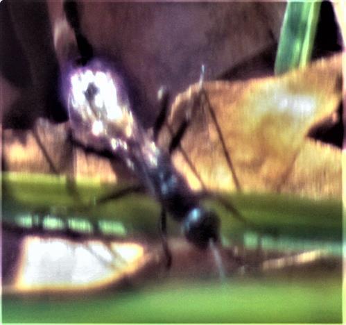 Brackwespe(Braconidae)
