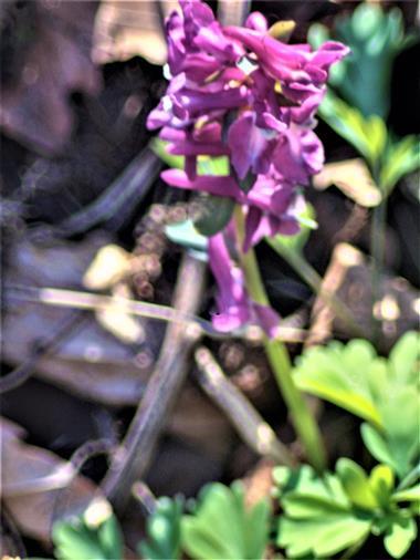 Hohler Lerchensporn(Corydalis cava(Schweigg & Körte))