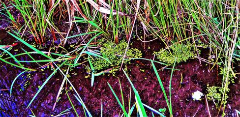 Kleine Wasserlinse(Lemna minor(L.)) im Straßengraben der Kläranlage