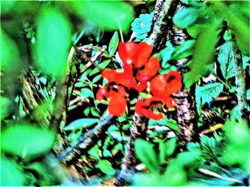 Blüten der Japanischen Zierquitte(Chaenomeles japonica(Thunb.)Lindl. ex Spach)