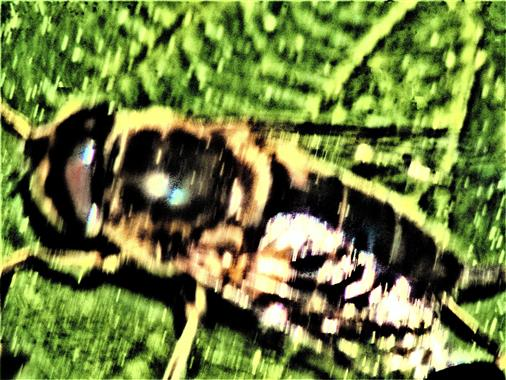 Gewöhnliche Keilfleckschwebfliege(Eristalis pertinax(Scopoli 1753))