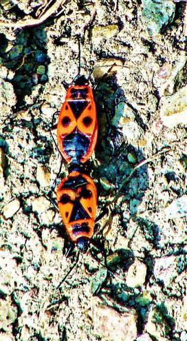 Kopulation von Gemeinen Feuerwanzen(Pyrrhocoris apterus)(L. 1758))