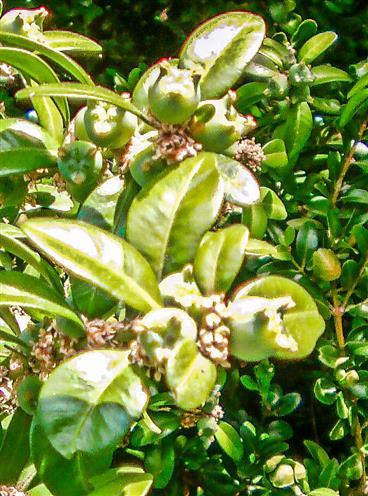 Dreiklappige Kapselfrüchte eines Buchsbaumes(Buxus sempervirens(L.))