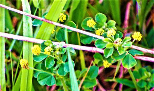 Hopfenklee(Medicago lupulina(L.))
