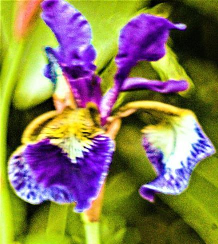 Blüte der Verschiedenfarbigen Schwertlilie(Iris versicolor(L.))