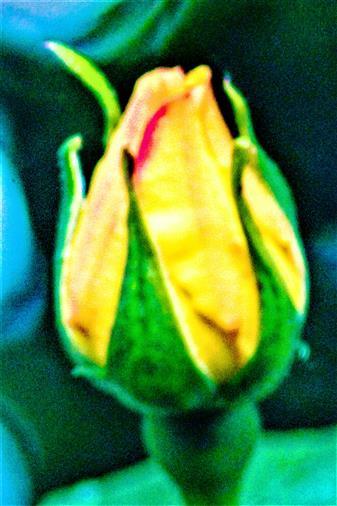 Knospe einer gelben Kulturrose(Rosa)