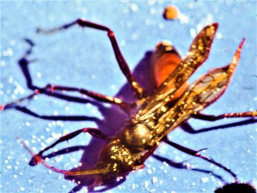 Rotschwarze Spinnenwespe(Arachnospila anceps(Wesmael 1851))