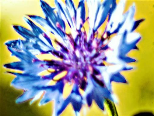 Blüte einer Kornblume(Cyanus segetum(L.))