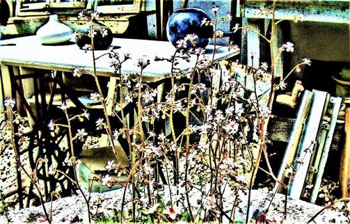 Blüten des Porzellanblümchens(Saxifraga x urbium(D. A. Webb))