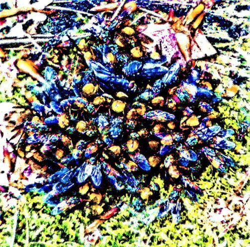 Kothaufen bedeckt von Fliegen(Muscidae) sowie Schmeißfliegen(Calliphoridae) Mai 2020 im Hirschbergwald