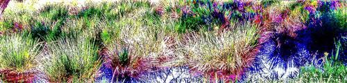 Gelbe Blüten der Sumpf- oder Wasseriris(Iris pseudacoris(L.))