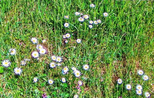 Magerwiesen-Margerite(Chrysanthemum vulgare(Lam.))