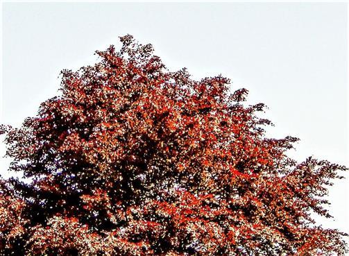 Obere Kronenhälfte einer Rotbuche(Fagus sylvatica f. purpurea(Aiton))