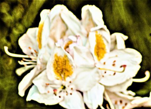 Weißblühender Rhododendron(