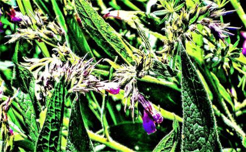 Die letzten Blüten in diesem Jahr beim Gemeinen Beinwell(Symphytum officinale(L.))