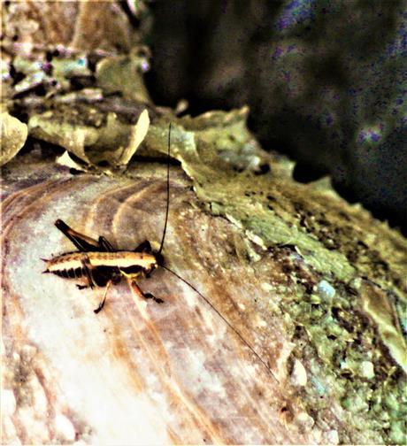 Nymphe der Gemeinen Strauchschrecke(Pholidoptera griseoaptera(De Geer 1773))