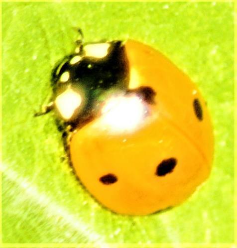 Siebenpunkt-Marienkäfer(Coccinella septempunctata(L. 1758))