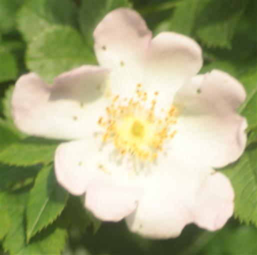 Selbige Blüte der Heckenrose(Rosa corymbifera(Borkh.)) 000