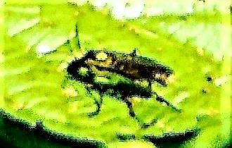 Pflanzenwespe(Tenthredo mesomela(L. 1758))