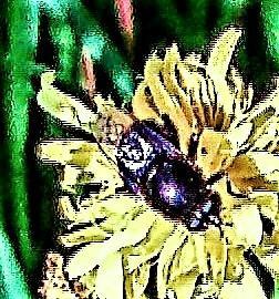 Korbblütler-Erzschwebfliege(Cheilosia canicularis(Panzer 1801))