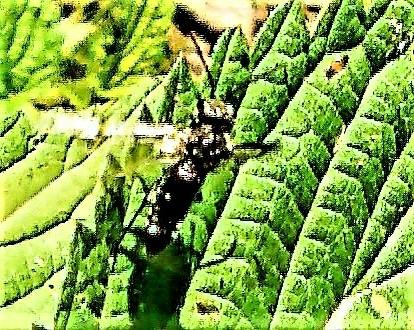 Schwarze Getreide-Blattwespe(Dolerus nitens(Zaddach 1859)) beim Abflug
