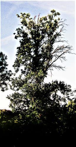 Trauben-Eiche(Quercus petraea(Mattuschka)Liebl.) nordöstlich des Mühlchens in Simmersbach