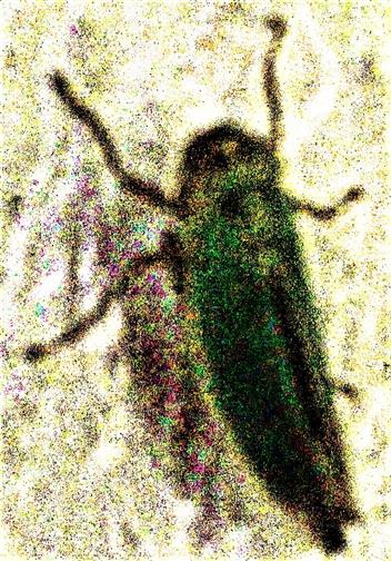 Binsenschmuck- bzw. Grüne Zwergzikade(Cicadella viridis(L. 1758))