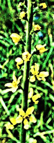 Blüten des Gewöhnlichen Odermennigs(Agrimonia eupatoria(L.))